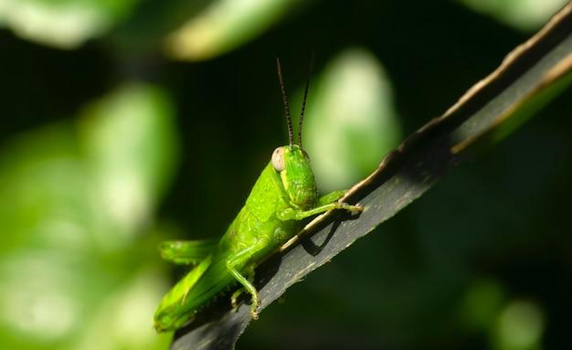Eine schöne grüne heuschrecke mit unschärfe
