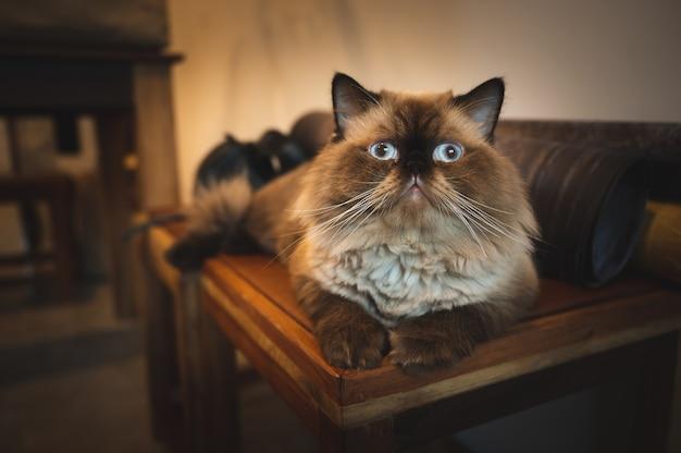 Eine schöne katze, die zu hause auf dem holztisch sitzt, kätzchen mit braunem fell, kätzchen, das die kamera mit bequemem, gemütlichem und kühlendem haustier zu hause betrachtet. homie-lifestyle-konzept.