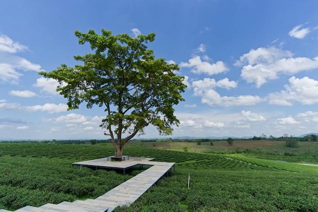 Eine schöne landschaft an der grünen teeplantage chui fongs, thailand.