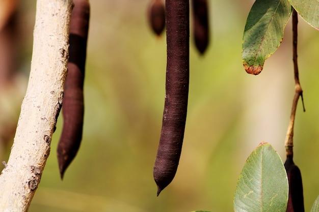 Eine schöne nahaufnahme von cassia fistula fruit