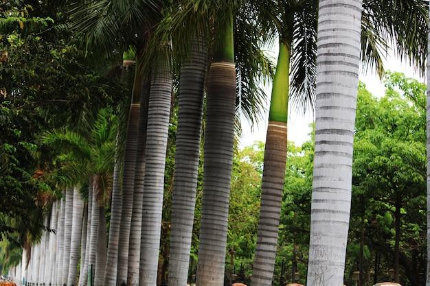 Eine schöne nahaufnahme von royal palms.