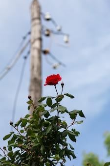 Eine schöne rote rose hebt sich von dem hintergrund ab, der aus einem telefonmast besteht