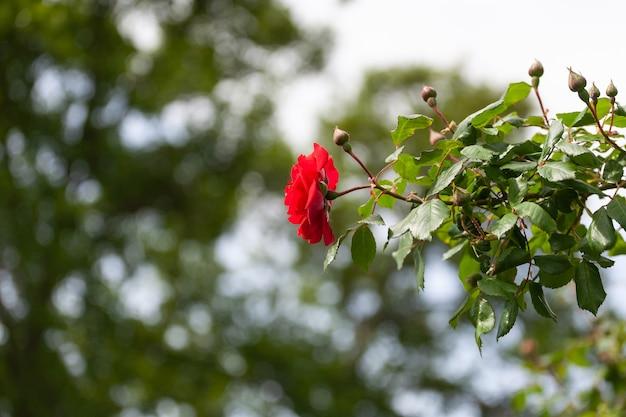 Eine schöne rote rose hebt sich von einem unscharfen hintergrund anderer grüner pflanzen ab