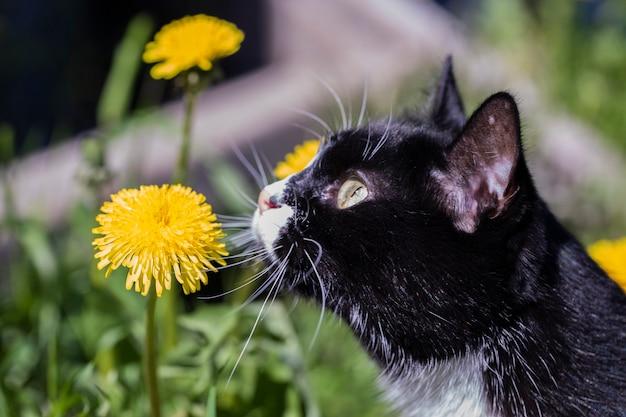 Eine schöne schwarz-weiße katze schnüffelt an einem sonnigen tag an einer löwenzahnblume.