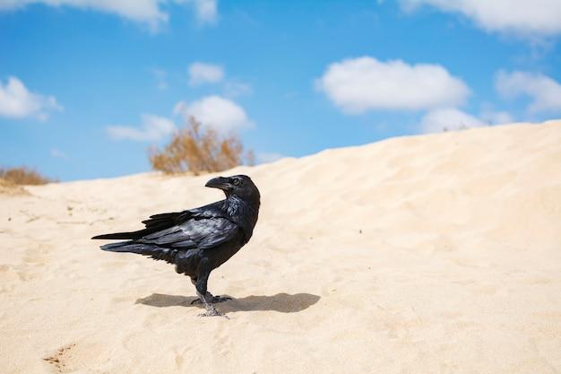 Eine schöne schwarze krähe thront auf dem wüstensand