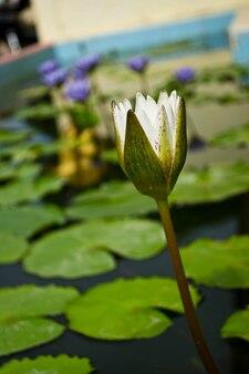 Eine schöne seerose oder lotusblume