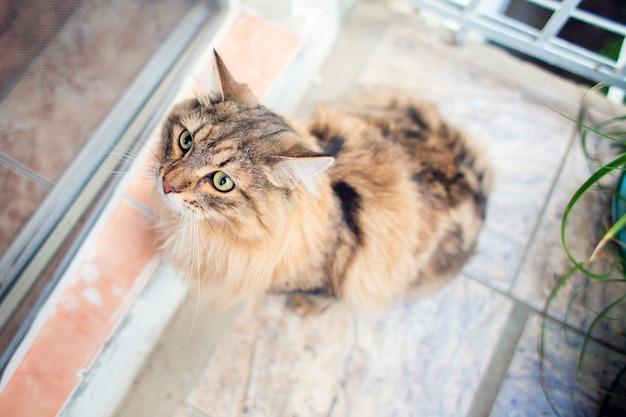Eine schöne sehr flauschige katze der sibirischen rasse geht auf dem balkon spazieren.
