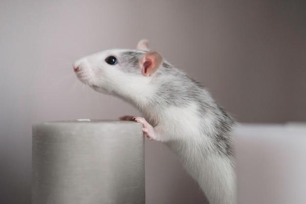 Eine schöne weiß-graue dekorative ratte schnüffelt an einer duftkerze. nahaufnahme ratte