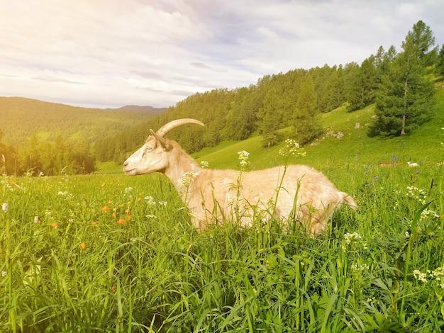 Eine schöne weiße gehörnte ziege, die von der sonne beleuchtet wird, weidet auf grünem gras vor dem hintergrund der altai-berge. handyfoto.
