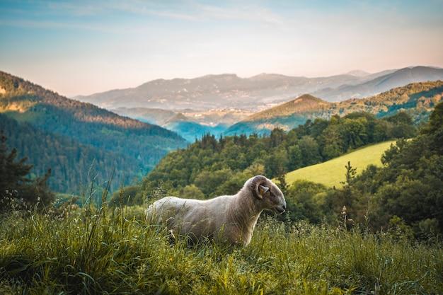 Eine schöne ziege mit hörnern auf dem aufstieg zum monte adarra in urnieta bei san sebastian. gipuzkoa, baskenland.