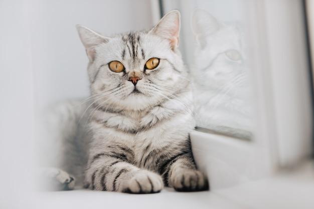 Eine schottische oder britische katze mit einer marmorierten schwarz-weiß-farbe ruht an einem sonnigen tag auf einer weißen fensterbank.