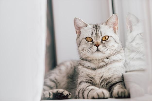 Eine schottische oder britische katze mit einer marmorierten schwarzweiss-farbe steht auf einem weißen fensterbrett an einem hellen sonnigen tag still.