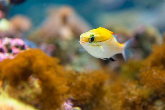 Eine schule von blauen streifenschnappern im aquarium, osaka japan