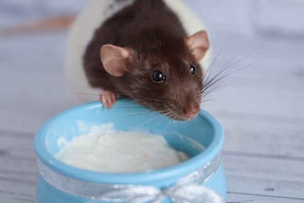 Eine schwarz-weiße ratte isst saure sahne aus einem blauen tontopf. ein silberner bogen wird in den topf gebunden.