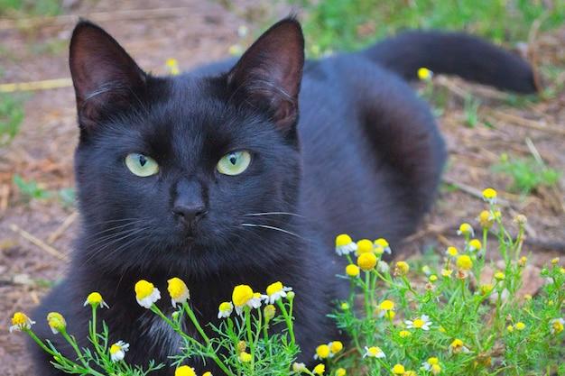Eine schwarze katze mit grünen augen liegt auf dem grünen gras. schöne kamille im vordergrund