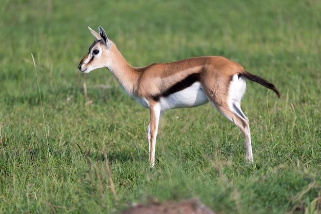 Eine sehr junge thomson gazelle in der kenianischen graslandschaft