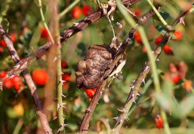 Eine sehr nahaufnahme einer gallenwespe (diplolepis fructuum) auf einem hagebuttenzweig