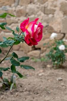 Eine sehr schöne rote rose hebt sich von den grünen blättern ab, die sie in einer natürlichen umgebung umgeben
