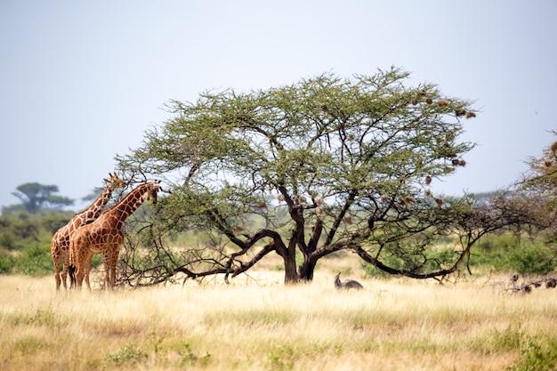 Eine somalische giraffe frisst die blätter von akazienbäumen