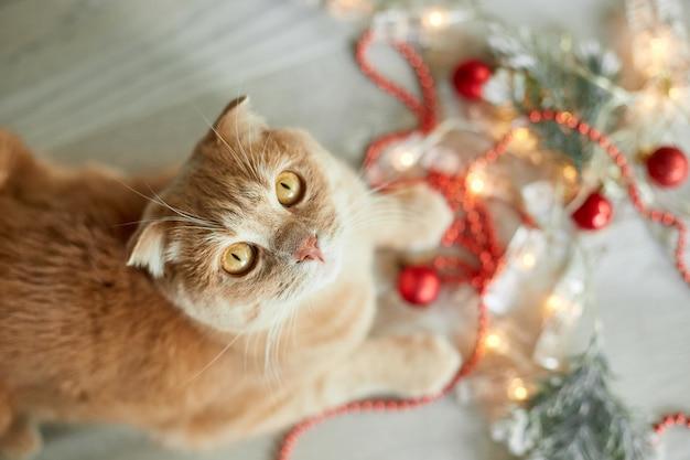 Eine süße entzückende britische katze, die mit weihnachtskugeln zu hause spielt, pfote auf dem tisch mit weihnachten