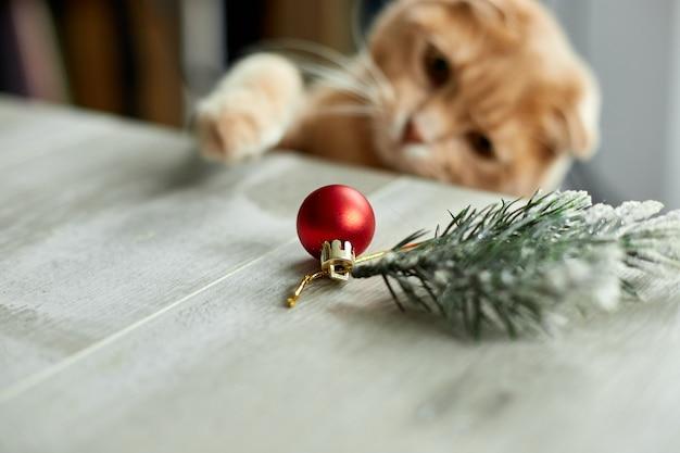 Eine süße entzückende britische katze, die zu hause mit weihnachtskugeln spielt, pfote auf dem tisch mit weihnachtsschmuck, weihnachtskatze, neujahr