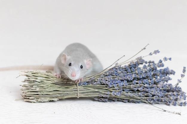 Eine süße graue dekorative ratte sitzt neben einem trockenen lavendelstrauß. aromatherapie. nagetier nahaufnahme.