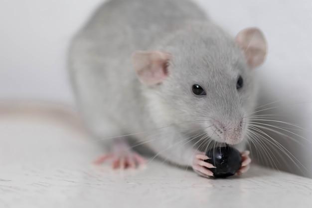 Eine süße graue kleine dekorative ratte isst köstliche und saftige blaubeeren. nagetier nahaufnahme.