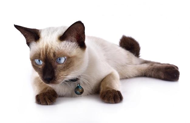 Eine thailändische katze ist eine traditionelle oder alte siamesische katze