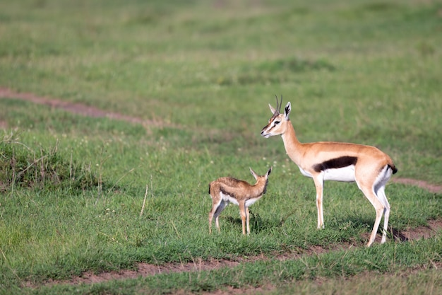 Eine thomson-gazelle mit ihren nachkommen in der savanne