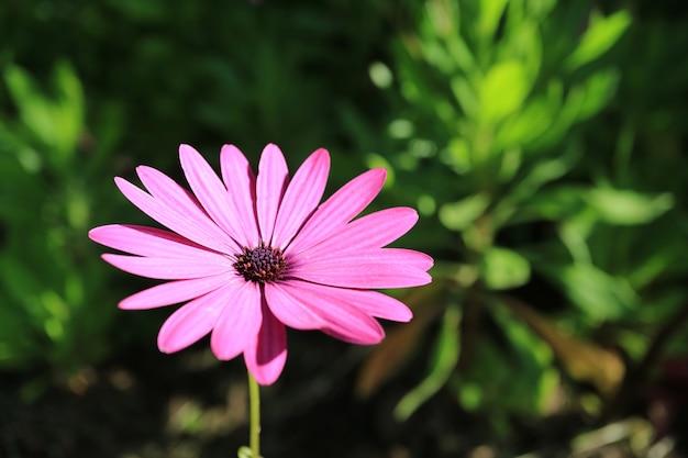 Eine vibrierende rosa gänseblümchenblume im sonnigen garten