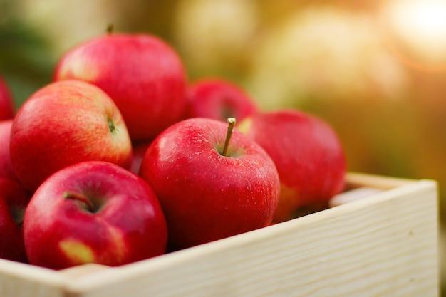 Eine volle kiste mit frischen roten bio-äpfeln in nahaufnahme im herbstgarten. das konzept der ernte. seitenansicht.