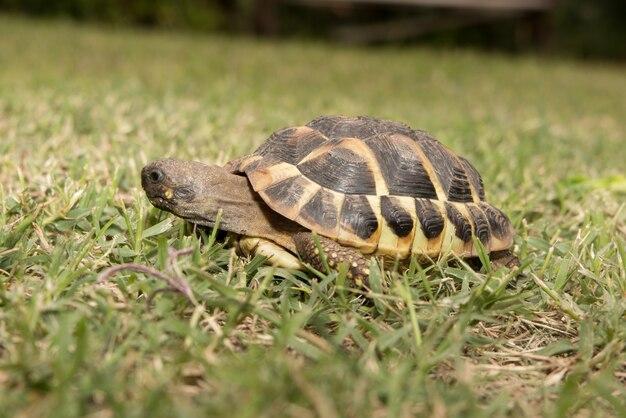 Eine waldschildkröte, die auf ein grünes gras geht