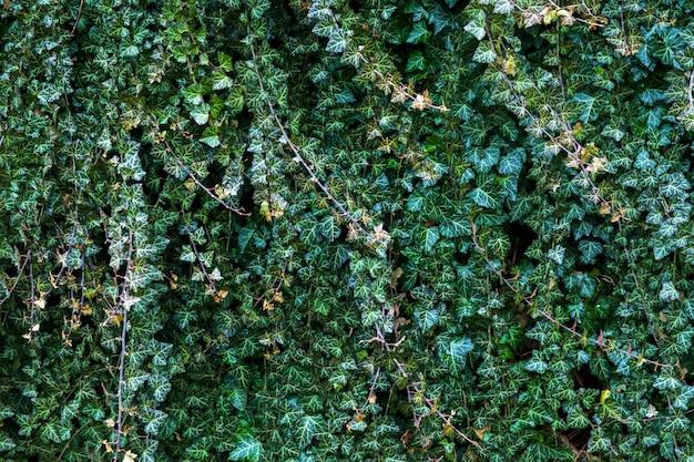 Eine wand aus kletterer efeu. grüner blumenhintergrund