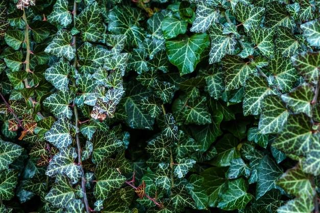 Eine wand des kletterergemeinen efeus. grünes blumen