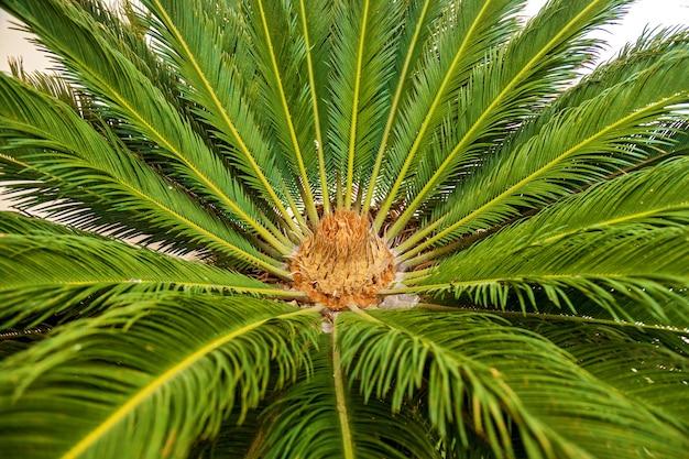Eine weibliche blüte von sagos palme mit großen grünen blättern und unbemerkter blume, seitenansicht.