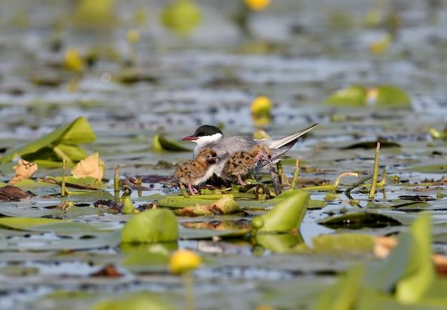 Eine weibliche seeschwalbe mit zwei chiks sitzt im nest zwischen wasserpflanzen