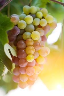 Eine weintraube für den weinanbau auf einer traubenfarm im sommer unter sonnenschein landwirtschaft und ...