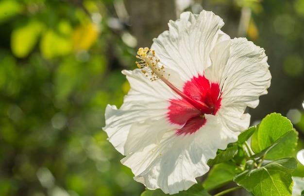 Eine weiße hisbiskusblume mit rotem akzent