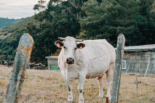 Eine weiße kuh in der farm, die direkt hinter einem zaun zur kamera schaut