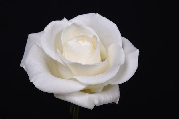 Eine weiße rose auf schwarz