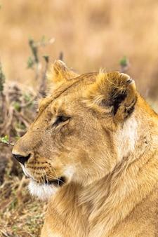 Eine wunderschöne löwin aus kenia masai mara afrika