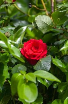 Eine wunderschöne rote rose hebt sich von den grünen blättern ab, die sie in einer natürlichen umgebung umgeben