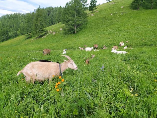 Eine ziegenherde weidet im sommer im altai auf grünem gras. handyfoto.