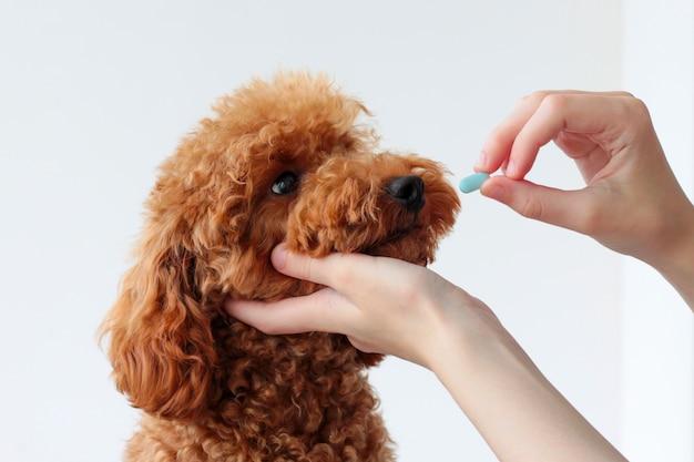 Einem kleinen hund, einem zwergpudel, wird eine blaue pille gereicht. tierbehandlung, tierarzt. einem hund medizin geben.