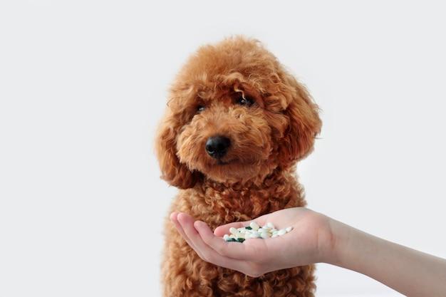 Einem kleinen hund, einem zwergpudel, wird eine handvoll pillen gereicht. tierbehandlung, tierarzt. einem hund medizin geben.