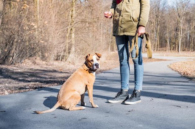 Einen erwachsenen hund in einem park ausbilden. person, die einen staffordshire-terrier in einem park, hund ungehorsam schult und sich weg dreht