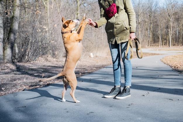 Einen erwachsenen hund so ausbilden, dass er auf zwei beinen läuft und eine high five macht. person, die einen staffordshire-terrier in einem park unterrichtet, um hallo-fünf zu geben.