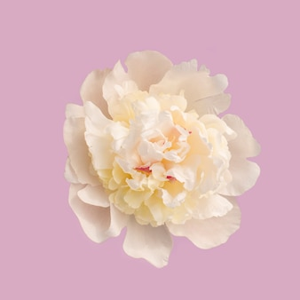 Einer weißen blume auf rosa
