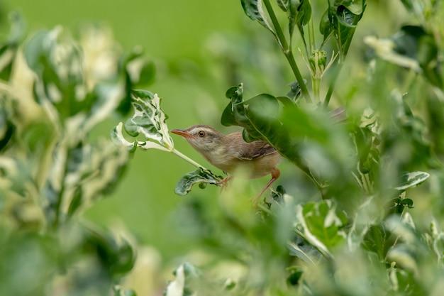Einfache prinia (prinia inornata) hockt auf einem polyscias-baum im grün