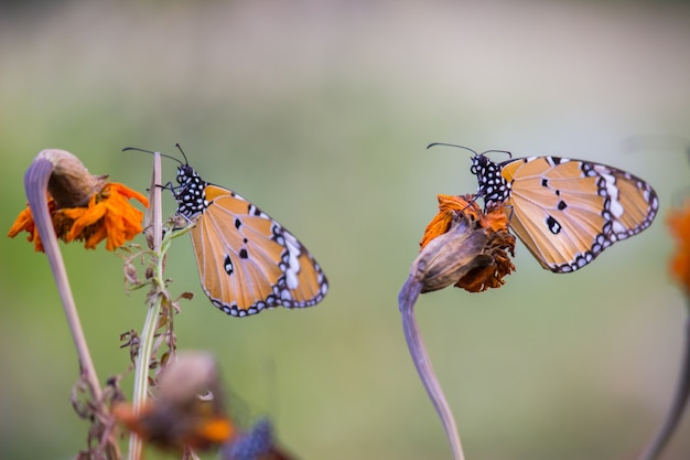 Einfacher tiger butterfly auf blume